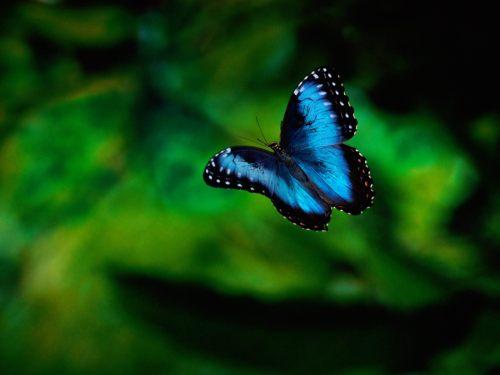 Butterfly in flight.