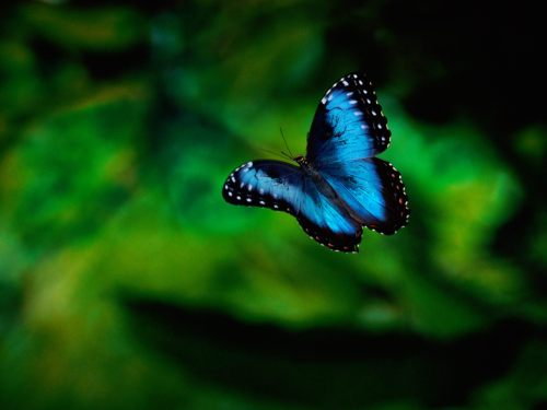 Butterfly in flight.