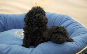 blackpuppys