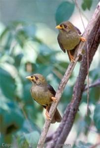 Bell birds.