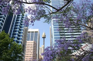 Jacaranda trees in the city.