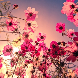 pink-flower-fields