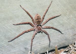 http://www.brisbaneinsects.com/brisbane_spiders/BrownHuntsman.htm