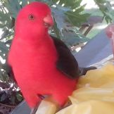 King Parrot in royal red