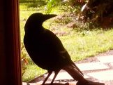 magpie on doorstep