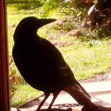 magpie on doorstep