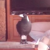 magpie on lounge