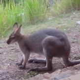 wallaby at the verandah 2