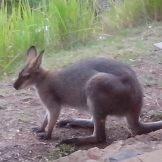 wallaby at the verandah 2