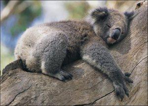 koala-lazing-about
