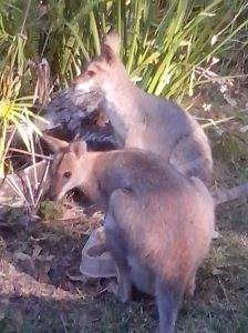 The Single Mother's Club, both of these wallabies have joeys.