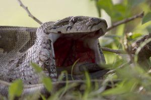 snake big jaw